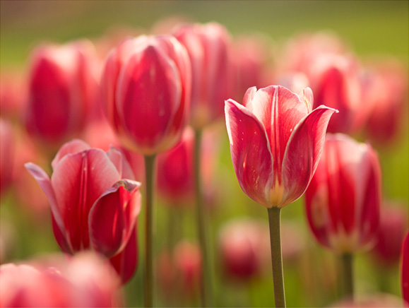 Tulips on display during Tulip Time Festival at Dutch Village in Holland Michigan